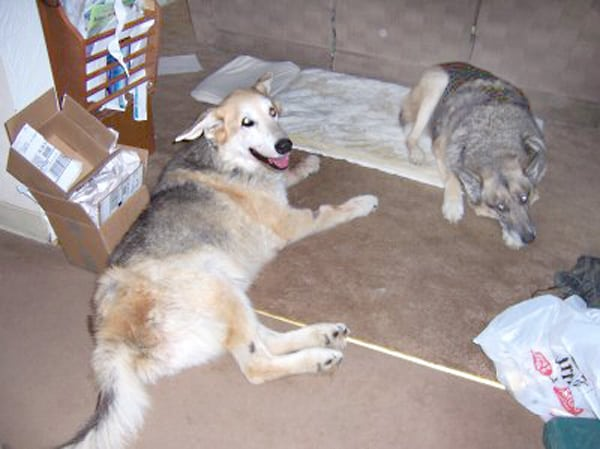 15 Yr. Old Shpherd Jerry and Trouble the Tripawd
