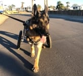 Wyatt the Tripawd walks with wheelchair
