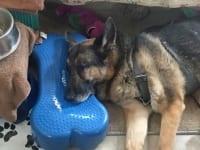 Wyatt rests on his K9FitBone
