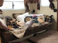Two German Shepherd Couch Surfers