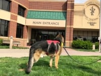 Tripawds Spokesdawg Wyatt at Colorado State University