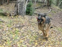 Tripawd GSD Wyatt Running at Vickers Upper Ranchupperranch01