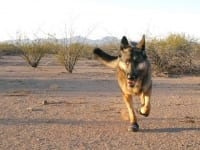 Wyatt runs in Ruff Wear Grip Trex boots in Arizona desert.