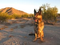 Wyatt Enjoys Quartzsite Arizona Desert Morning