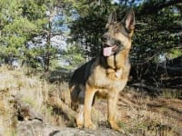Three Legged GSDTripawds Spokesdog Wyatt Ray