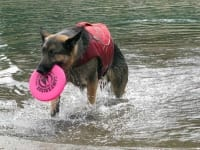 Wyatt swims for Frisbee in Float Coat