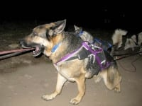 Wyatt runs with Odaroloc Sled Dogs
