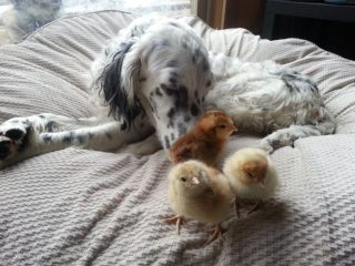 Tripawd Dog Adopts Chickens
