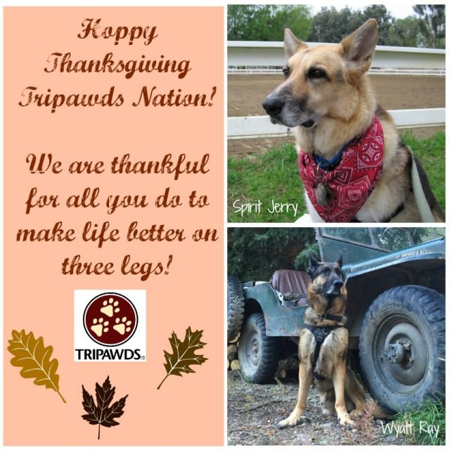 Thanksgiving Tripawd cats dogs