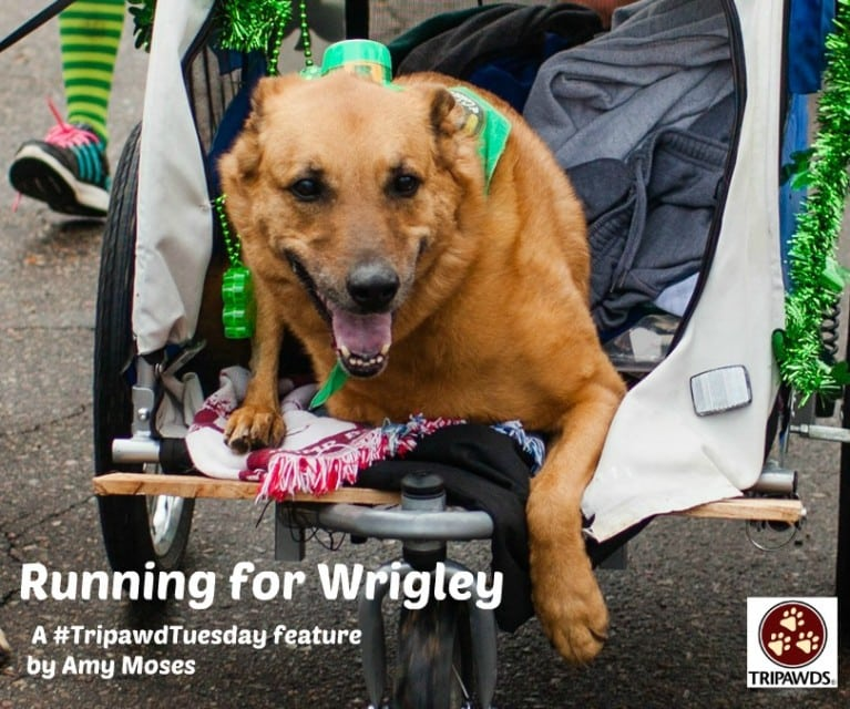 Tripawd Tuesday Wrigley
