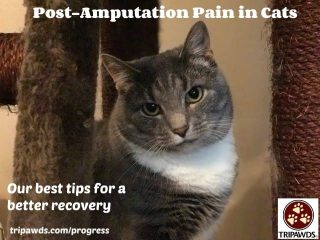 post-amputation pain in cats