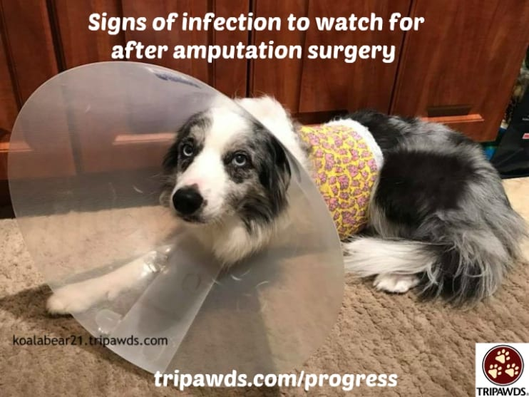 Tripawd amputation incision infection