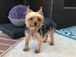 UC Davis patient Ethel the Yorkie