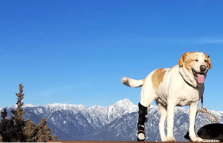 dog hiking with leg brace