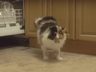 Amputee Cat Walking Backwards