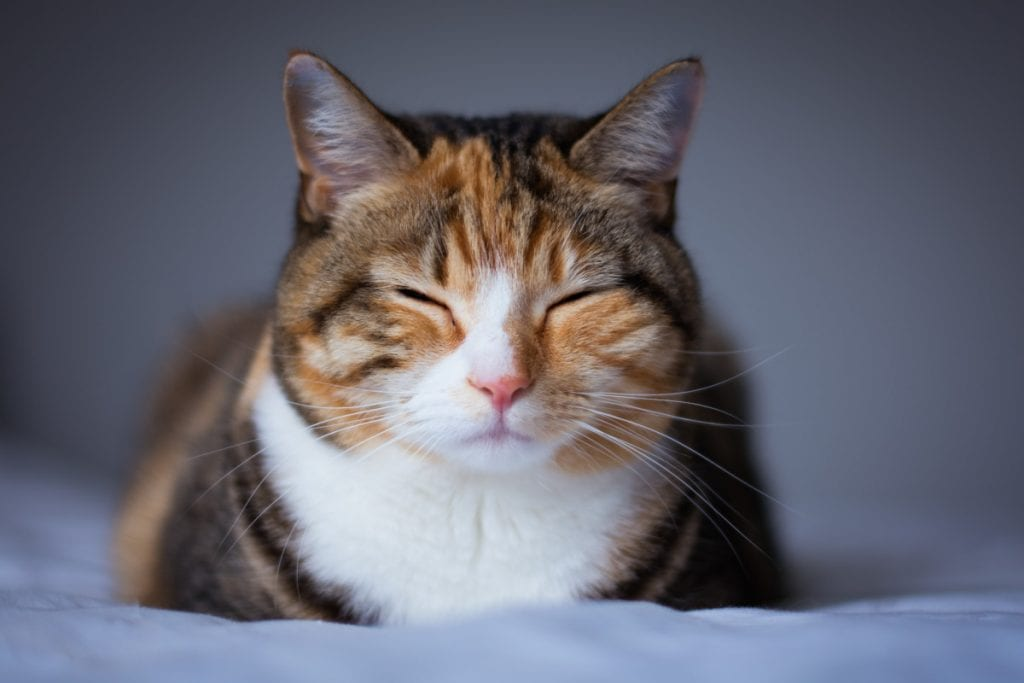 Amputee cat in pain