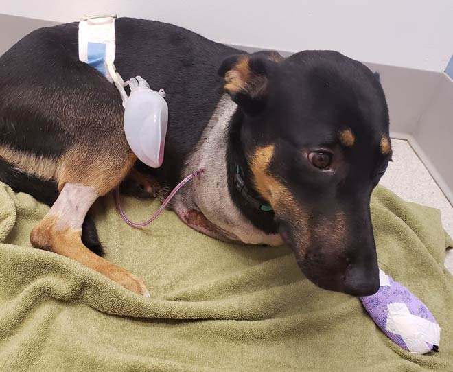 does tramadol help dogs after amputation