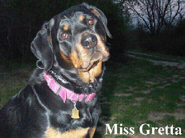 gretta cancer dog cisplatin beads