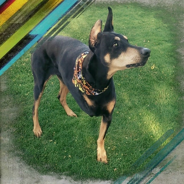 Doberman, dog, Tripawd