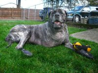 Giant Breed Three Legged Mastiff Tazzie