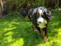 Izzie Bernese Mountain Dog Tripawd