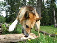 Attacking the log with one good paw.