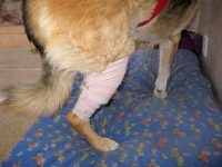 Ace Bandages are not made for dog legs.