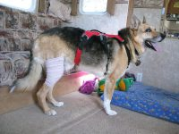 Ace Bandage provides temporary support for dog ACL injury.