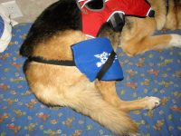 Hot Cold Pain Relief Pack Helps Heal Torn ACL on Three Legged Dog