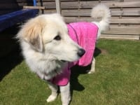 Tripawd Pyreneese Belle recovers