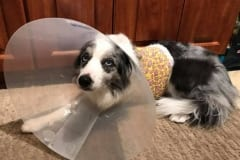 Tripawd dogs and cats cone of shame