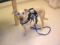 Ruff Wear Harness Helps Three-Legged Dog Uschi