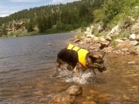 Wyatt Swims Crystal Lake in Ruffwear K9 Float Coat
