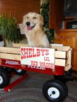 Three Legged Dog Shelby in her Wagon