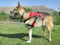 New Ruffwear Harness Helps Three Legged Dogs