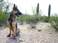 Ruff Wear Dog Boots Protect Wyatt from Desert Cactus