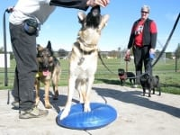 Three Legged GSD Travis Trys FitPAWS Balance Disc Exercise
