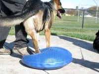 Three Legged GSD Wyatt Trys FitPAWS Balance Disc Exercise
