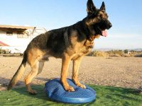 Wyatt Exercises on FitPAWS Balance Disc