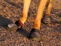 Wyatt in Ruff Wear Grip Trex Dog Boots