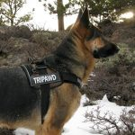 Wyatt in Tripawd Convert Harness by EzyDog