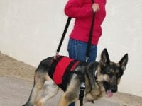AST Custom Pet Support Suit on Tripawd GSD Wyatt