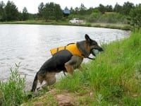Wyatt swims in Ruffwear Float Coat