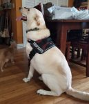 Tripawd Morty in Harness