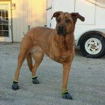 Tripawd dog with Ruffwear Skyliner Boots