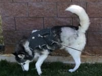 Tripawd Ziva loves her Webmaster Harness