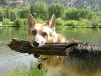 Swimming for big sticks at vickers Ranch