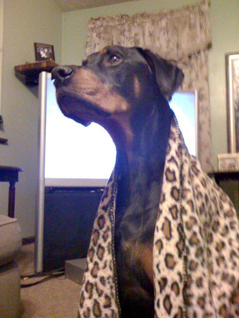 Three Legged Doberman Osteosarcoma Emily
