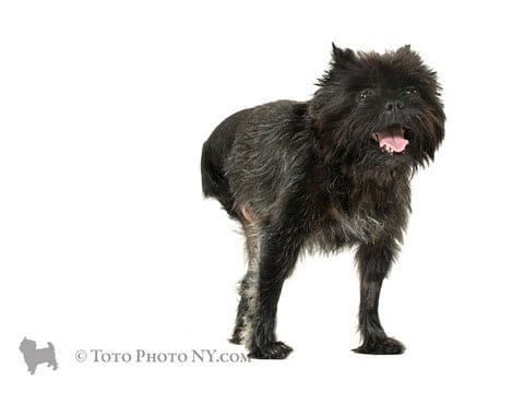 Tripawd Affenpinscher Elliot by TotoPhotoNY.com Posted with Permission of Thomas Partington