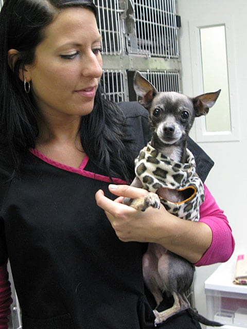 VCA L.A. Oncology Vet Dept. Chihuahua